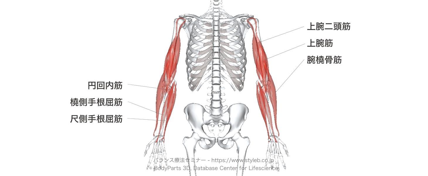 神経 筋 腕 橈骨